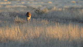 Hunting cheetah, Botswana (large format)