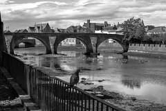 Old Bridge, Ayr (Harry McGregor) Tags: ayr scotland ayrshire historic bridge river monochrome water seabirds seagulls pigeon fence bw nikon d3300 harrymcgregor 2017 4 june lowtide