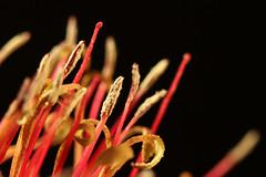 Mistletoe Flowers parasitic on Eucalyptus (AlfredSin) Tags: alfredsin canoneos760d canonef100mmf28lmacro mistletoe mistletoeflowers redflowers parasiticplants australianflowers australianplants parasiticoneucalyptus