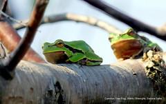 Sfântu Gheorghe, Danube Delta (E P E) Tags: commontreefrog sfântugheorghe danubedelta