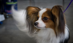 papillon ears tail alert smile saturday precious pets smileonsaturday preciouspets