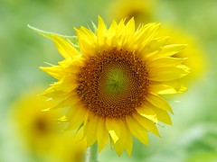Sunflower (bamboosage) Tags: supermulticoated takumar 25 m42 2nd edition ngc
