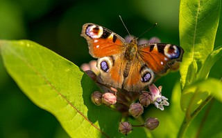 butterfly (06) - nymphalis io