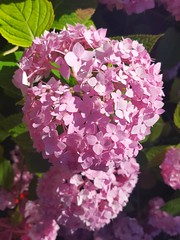 Hydrangea macrophylla (Iggy Y) Tags: hydrangea macrophylla spring blossom flower pink color flowers green leaves hortenzija hortensia velelisna bigleafhydrangea bigleaf nature park garden plant sunn day light