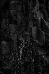 "..and 1 white tree - fine art B&W, shot in the old quarry near Dalgety Bay, Fife, Scotland (grumpybaldprof) Tags: bw blackwhite ""blackwhite"" ""blackandwhite"" noireetblanc monochrome""fineart"" ethereal striking artistic interpretation impressionist stylistic style contrast shadow bright dark black white illuminated ""dalgetybay"" dalgety fife scotland uk ""firthofforth"" rocks texture whitetree deadtree tree rockface cliff quarry oldquarry canon 7d ""canon7d"" tamron 16300 16300mm ""tamron16300mmf3563diiivcpzdb016"""