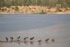 Evolución (Marmotuca) Tags: proserpina aves fochacomún fulicaatra línea naturaleza evolución