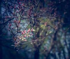 saison (cébé céline) Tags: saison printemps bleu branche floraison petitesfleurs blues ombre lumière arbre bouton profondeurdechamps nikond7200 bokeh