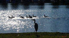 Lights, Camera, Action! (Eddy Allart) Tags: water lake birds heron reiger geese ganzen animals nature natuur naturaleza