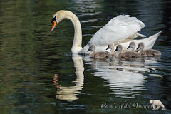 Family Outing (PamsWildImages) Tags: mute swan signets babies cute sweet bird nature wildlife canada bc pamswildimages family water