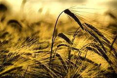 summer wheatfield (Neal J.Wilson) Tags: summer goldenhour wheat seasons silhouette denmark nordic scandinavia farming crops golden dusk sunset