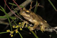 Littlejohn's Tree Frog (Litoria littlejohni) (Heleioporus) Tags: littlejohns tree frog litoria littlejohni south coast new wales