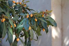Tolède (hans pohl) Tags: espagne castillelamanche toledo fruits plantes plants feuilles leafs