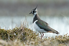 Northern Lapwing Vanellus vanellus (janmangorfagerland) Tags: animal birds bird birdphoto birdsgallery bokeh birding birdsofnorway coast colorful colours d800e dephtoffield depth distinguishedbirds 300mmvrii28g evening exposure fagerland field fugler flickr fuglebilder fauna gallery green grass marsh photography photo islands nikon wildlife nikkor myr jan janfagerland jernspurv water vipe vann g karmøy landscape light planet blue mangor nature norge norway natur outdoor ornithology portrait rest vr supertele sun wader white vader yellow vanellus