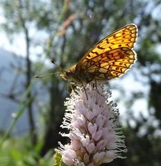 Boloria eunomia Puymorens (Froggy Birder) Tags: puymorens papillon butterfly rhopalocères pyrénéeorientales boloriaeunomia bogfritillary