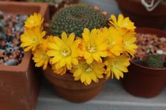 Rebutia marsoneri (S.Mt) Tags: succulentes succulents plantes grasses cactus fleurs flower echeveria aeonium oscularia rebutia grapto nature plants marsoneri