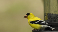 DSCN5594 (lalondepelletier) Tags: animal p900 nature bird chardonneret