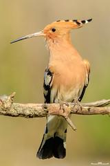 Abubilla (www.jorgelazaro.es) Tags: abubilla autóctonas pluma pájaro puput hoopoe upupidae animal pájaros upupaepops pico bubela naturaleza fauna plumas argioilarra aves