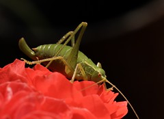 Green Cricket (sarahreilly1) Tags: alps france rose cricket insect