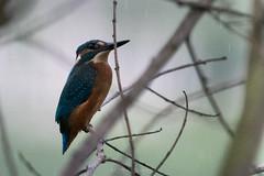 D50_3789.jpg (ManuelSilveira) Tags: fauna aves guardarios vilanovadefamalicão braga portugal pt