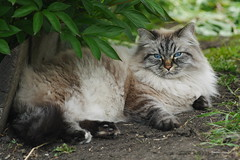 P1440242 (Sergei Spiridonov) Tags: cat manualfocusing jupiter37a13535