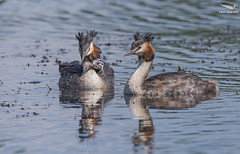 Grebe Family @ 850mm (Mick Erwin) Tags: grebes great crested grebe family nikon afs 600mm f4e fl ed vr lens tc14e teleconverter iii d810 mick erwin stoke trent staffordshire wildlife nature