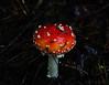 Fly agaric (Dancing Bohunk) Tags: dsc02854 fly agaric aminita mushroom fungus alaska