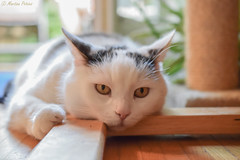 Monday face... (martinap.1) Tags: cat nikon40mmmacro nikond3300 pet haustier kitty white 7dwf
