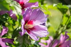 Mallow (Ákos Fekete) Tags: mallow flower garden pink outdoor outdoors summer summertime green nature naturescomposition naturephotography mbpictures beautifulcapture beautiful bokeh helios442 helios m42 vintage prime vintageprime focus dof sun sunny afternoon july 2017 mirrorless milc csc evil sony sonyalpha6000 alpha a6000 alpha6000 emount adács hungary magyarország closeup sharp