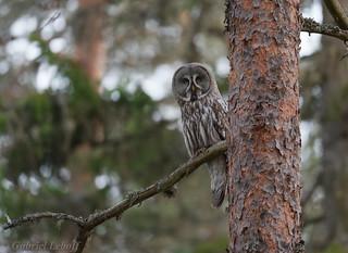 Chouette lapone Great Grey Owl  2437_DxO.jpg