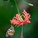 IMG_8112_web - A Schmetterlinghaus inhabitant