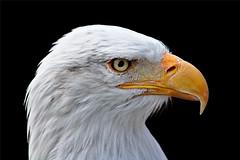 Bald eagle (hobbes_s2001) Tags: eagle bald haliaeetus leucocephalus bird raptor predator animal wildife portrait nature
