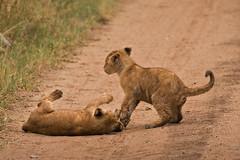 Lions of Maasai Kopjes 426 (Grete Howard) Tags: bestsafarioperator bestsafaricompany africa africansafari africanbush africananimals whichsafaricompany whichsafarioperator tanzania serengeti animals animalsofafrica animalphotos lions lioncubs maasaikopjes kopjes kopje