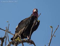 Red-headed Vulture (Sarcogyps calvus) (Jeluba) Tags: 2017 canon inde india kahlkopfgeier rajasthan ranthambore redheadedvulture sarcogypscalvus vautourroyal aves bird birdwatching nature oiseau ornithology wildlife horizontal