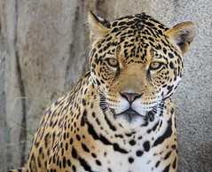 Handsome [In Explore 7/8/17] (greekgal.esm) Tags: jaguar bigcat cat feline animal mammal carnivore valerio sandiegozoo sandiego sandiegozooglobal sdzoo balboapark california endextinction sony rx10m3 rx10iii