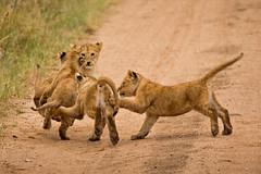 Lions of Maasai Kopjes 448 (Grete Howard) Tags: bestsafarioperator bestsafaricompany africa africansafari africanbush africananimals whichsafaricompany whichsafarioperator tanzania serengeti animals animalsofafrica animalphotos lions lioncubs maasaikopjes kopjes kopje