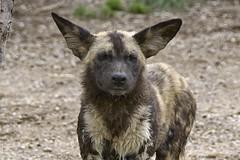 African wild dog (ucumari photography) Tags: ucumariphotography cincinnati ohio zoo april 2017 animal mammal africanwilddog africanpainteddog lycaonpictus dsc1906 specanimal
