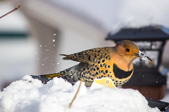 Northern Flicker (stephgallant) Tags: flicker northernflicker woodpecker bird canada boreal forest avalon newfoundland stjohns snow winter feathers canon60d canon55250mm telephoto nature animal bokeh