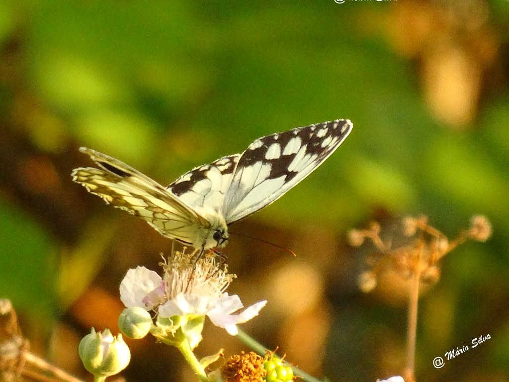 Águas Frias (Chaves) - ... borboleta na flor ...