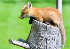 DSC_0800 (rachidH) Tags: fox renard vulpes foxcub renardeau redfox renardroux vulpesvulpes backyard frontyard wildlife sparta newjersey nj rachidh nature