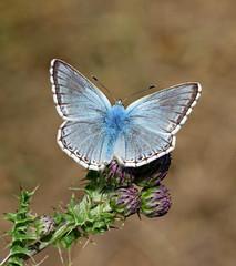 Chalkhill Blue - Polyommatus coridon (jaytee27) Tags: chalkhillbluepolyommatuscoridon male naturethroughthelens
