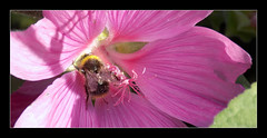 Bumblebee --- Bombus Pratorum (Tiberius smith) Tags: bee mallow pink bumble garden lavatera
