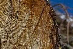 Larme de résine (resin tear) (Larch) Tags: arbre tree larme tear résine mélèze larch montagne mountain alpes alps wood avalanche ligne line écorce bark lebissedetrient valais suisse switzerland bissedutrient