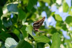Papillon_01 (Fabien83400) Tags: papillon nikond5300 nature var provence hyèreslespalmiers 50mm 18g nikor