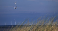 Summer on the coast (Cal Killikelly) Tags: wildlife little tern colony nature reserve north wales coast sea sand sky rspb conservation grass elegance wind turbines horizon dune migration africia
