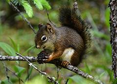 Squirrel (Stuart Axe) Tags: banff canada alberta banffnationalpark lowerfalls squirrel redsquirrel johnstoncanyon animal douglassquirrel americanredsquirrel