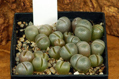 5 juin 2017 - Lithops optica C311 (maculate form), 184 jours (Mafate79) Tags: 2017 s16103 lithopsopticac311maculateform aizoaceae aizoacées aizoacée mesemb mesembryanthemaceae mesembryanthemacées mesembryanthemacée plante semis