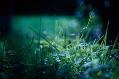 Let it rain (ursulamller900) Tags: trioplan2950 bokeh mygarden meadow grass gras tautropfen regentropfen regen klee clover