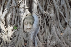 (Rekha Prasad) Tags: thailand buddha buddhasfacetrappedinrootsofbodhitree bodhi tree roots bodhitree ayutthaya ayutthayahistoricalpark ayutthayaattractions thailandattractions watmahathat mahathat wat temple history ruins exploreflickrexplore jul 12 2017