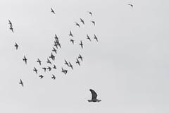 Attaque de buse_DSC7960_DxO (jackez2010) Tags: ilca77m2 70400gii busevariable attaque bif birdinflight