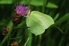 Common brimstone (Citroenvlinder) (Elisa1880) Tags: citroenvlinder gonepteryx rhamni common brimstone vlinder butterfly insect polderpark cronesteijn leiden nederland netherlands
